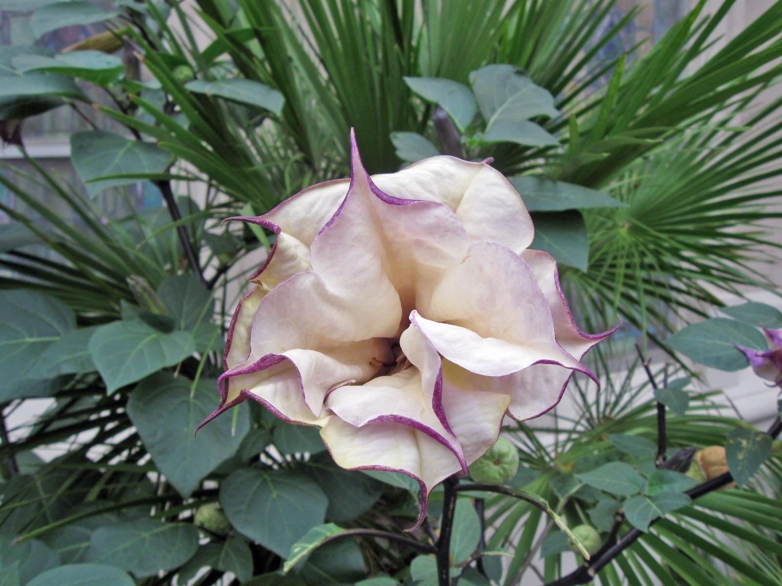 Angel's Trumpet Flower
