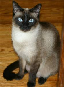 Siamese%20Cat