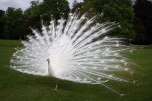 White_peacock_scone_palace