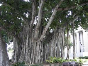 Banyan_tree_Old_Lee_County_Courthouse