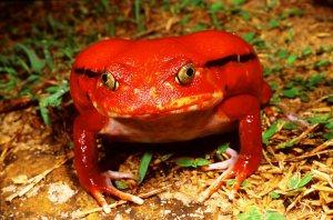 tomato_frog_L