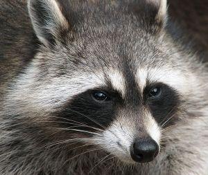 711px-Raccoon_(Procyon_lotor)_2