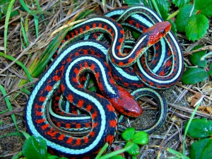 Redsided Garter Snake