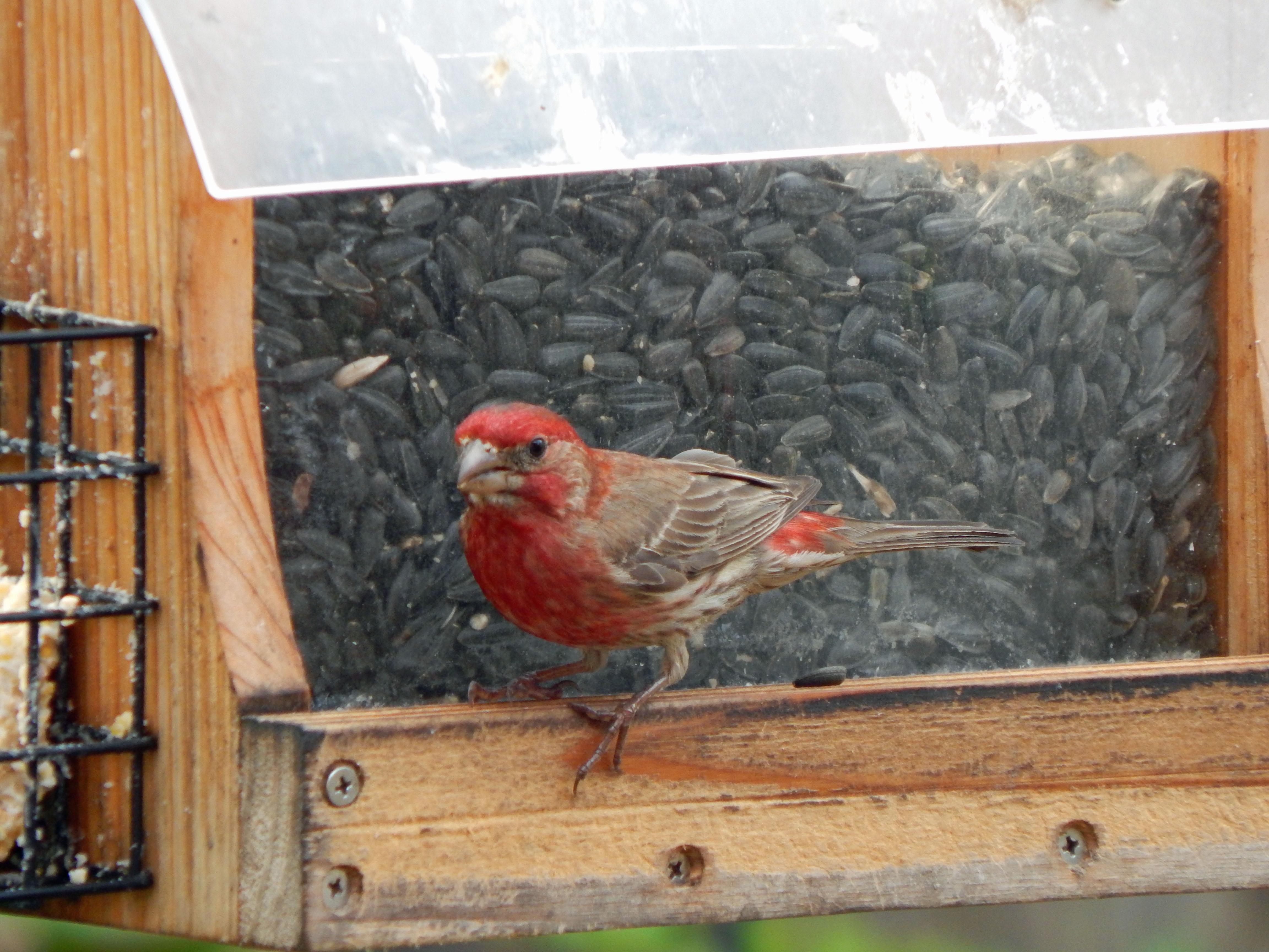 backyard birding albert moyer jr